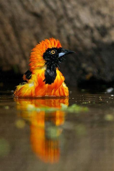 birds yellow orange rust images  pinterest