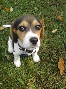 images of beagle puppy for sale wallpaper