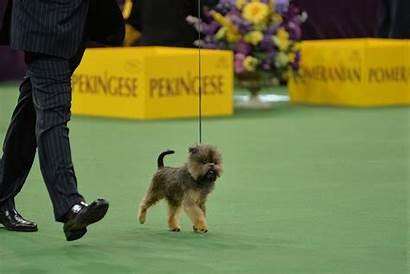 Dog Rover Gifs Westminster Dogs Strut Ve