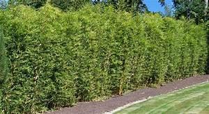 Gräser Sichtschutz Immergrün : bambus pflanzenshop bambus als gr ner sichtschutz garten garten zaun garten und garten ~ Buech-reservation.com Haus und Dekorationen