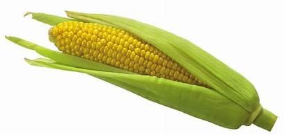 Corn Clipart Mais Transparent Vegetables Maiz Epis