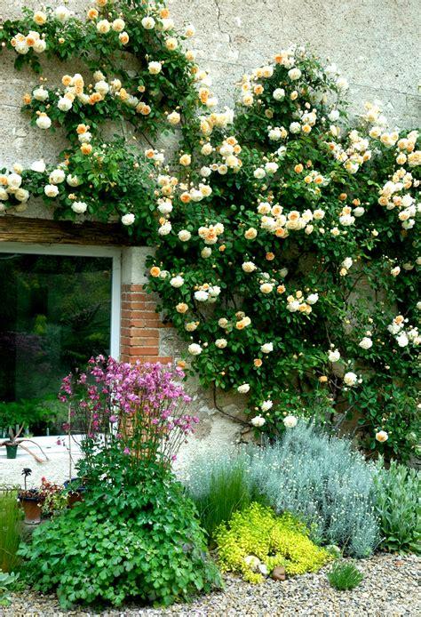 rosier grimpant planter  tailler ooreka