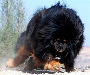 49 best Tibetan Mastiff images on Pinterest