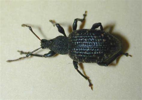 weevil bug black vine weevil insect id