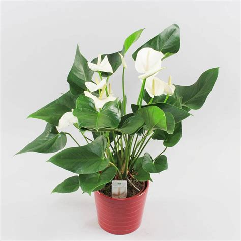 anthurium white winner luxurious and timeless florastore