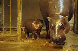 A Pygmy Hippo Calf Makes Waves at Bristol Zoo Gardens ...