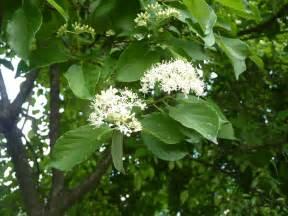 Gray Dogwood Tree