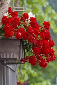 Pot De Fleur Rouge : pot de fleur rouge de g ranium sur une porte image stock image du photographi nature 60155895 ~ Melissatoandfro.com Idées de Décoration