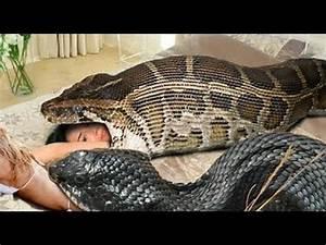 Most amazing wild animal attacks #4 - Biggest python snake ...