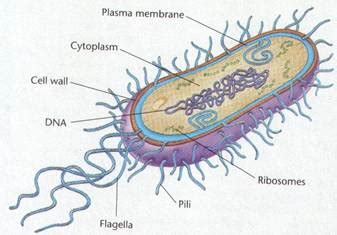 Anthrax Bacterium Diagram by How To Draw Bacteria Cell Diagram Easy Step By Step