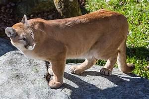 Doug Clark: Officially extinct: North Carolina cougars are ...