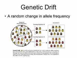 Genetic Drift  U0026 Gene Flow