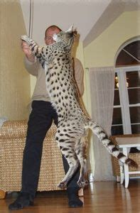 what is the largest breed of domestic cat world s cat
