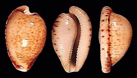 cypraea cypraeovula  amphithales