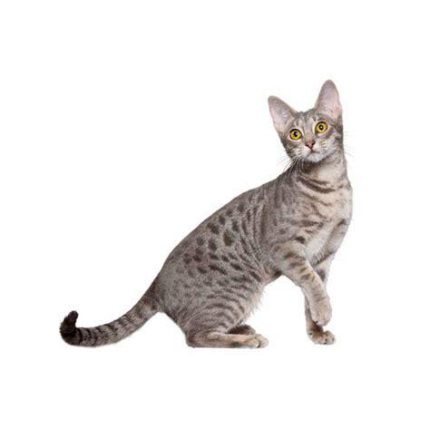 Osikats (Ocicat) - Whisker.lv   Kaķu šķirnes