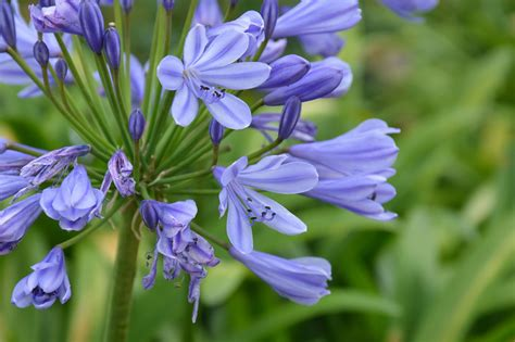 growing african lilies agapanthus