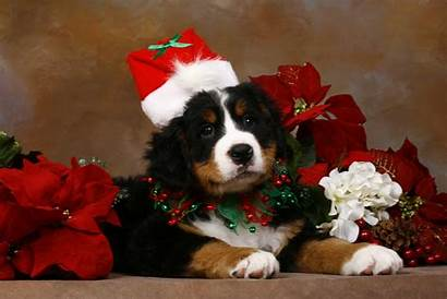 Christmas Dog Wallpapers Puppy Dogs Puppies Animal