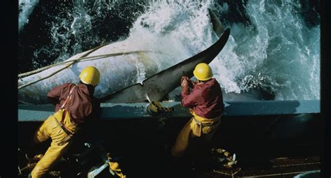 Japanese Resume Whaling by Japan S Strategy To Resume Commercial Whaling Wdc