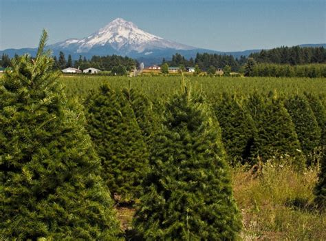 christmas tree farms near mt hood trees visit estacada
