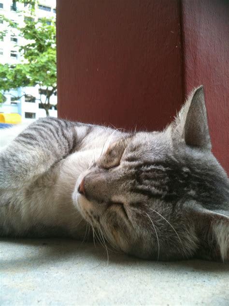 singapore community cats  good  community cat