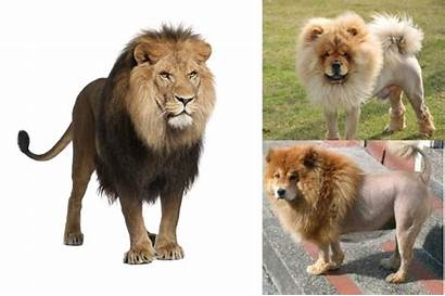 Lion Dogs Animals Groomed Dog Wild Chow
