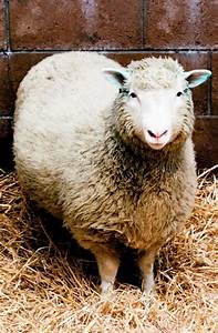 Dolly Debuts: Scientists clone first mammal, a sheep in ...