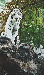 Pin by beck on 2d 3d 4d 5d | White tiger, Tiger, Animals wild