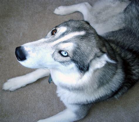 non shedding husky cross small breeds petfinder breeds list of non shedding
