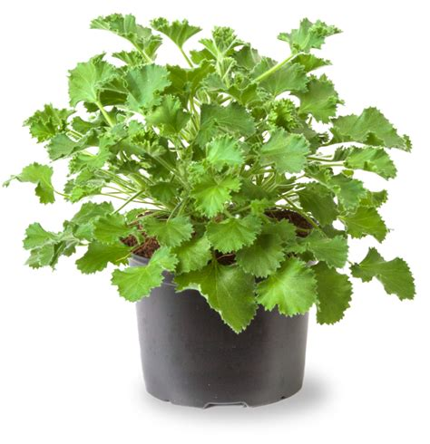 lemon scented geranium care lemon fresh scent geranium