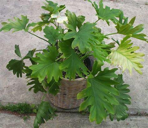 Philodendron Arten Bilder by Philodendron Pflege Philodendron Pflege Standort