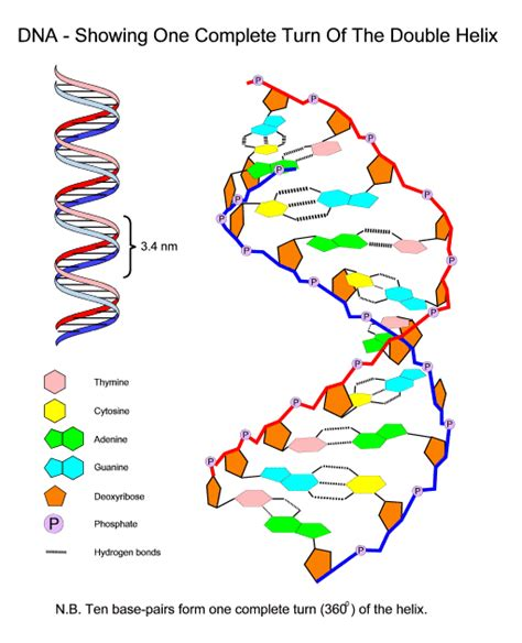 gallery dna gene diagram