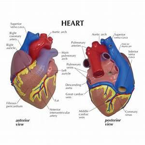 Posterior Heart Diagram  U2014 Untpikapps