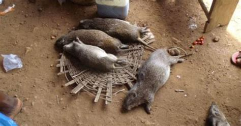 greater cane rat  traditional igbo delicacy afrikan