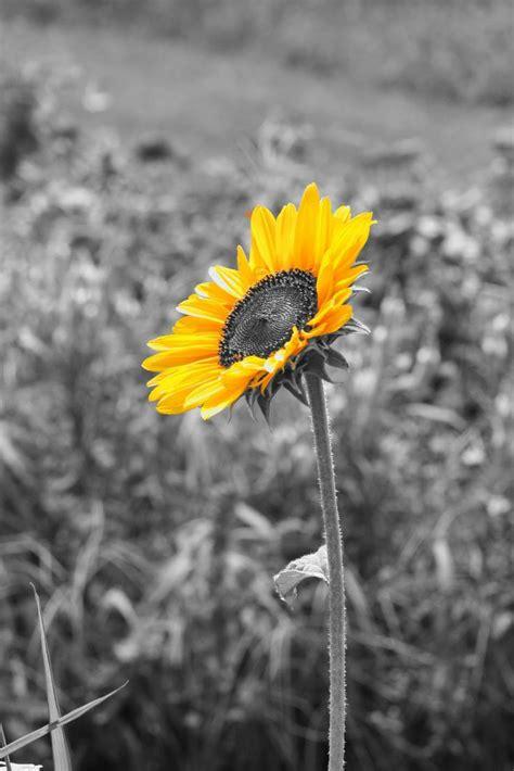 pin  stephanie reardon  sunflowers black white