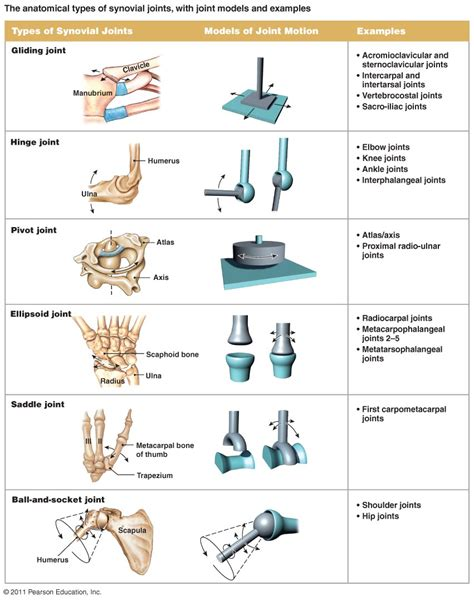 best 25 synovial joint ideas on human joints