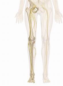 Nerves Of The Leg And Foot