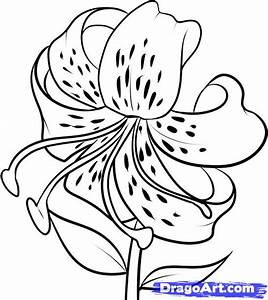 How to Draw a Tiger Lily, Step by Step, Flowers, Pop ...