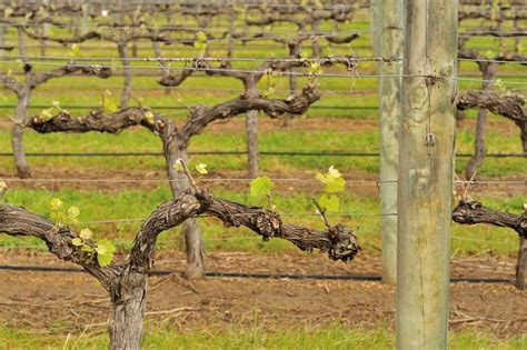 how to prune vines tips for pruning grapevines