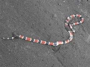 Scarlet King Snake vs Coral