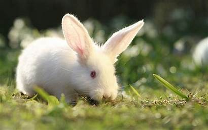 Rabbit Wallpapers Bunny Definition Animal Distrustful Background