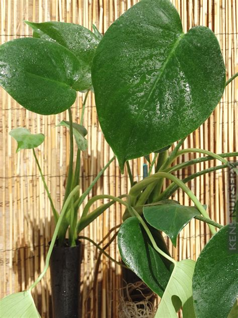 monstera giant leaf breadfruit deliciosa mexican split vine kens nursery mon del looks tropical