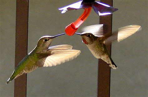 thirsty hummingbirds at the feeder on my balcony this