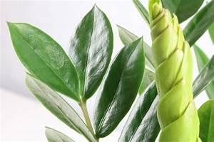 Glücksfeder Gelbe Blätter : gl cksfeder zamioculcas zamiifolia pflege und vermehren ~ Markanthonyermac.com Haus und Dekorationen