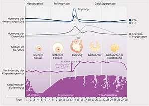 Eisprung Nach Ausschabung Berechnen : auf einen blick der weibliche zyklus bionorica se ~ Themetempest.com Abrechnung