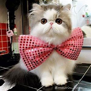 Super cute Persian cat... OMG, I wanna hold her forever ...