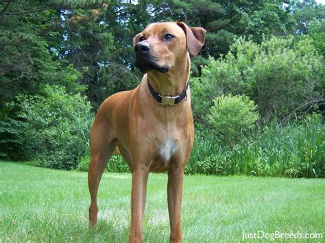 Do Rhodesian Ridgebacks Shed by Lilla Rhodesian Ridgeback Breeds