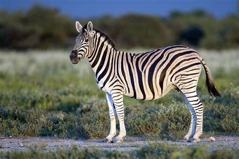 Burchell's zebra Wikipedia