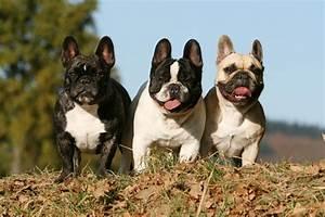 Hundebekleidung Französische Bulldogge : franz sische bulldogge french bulldogs machen gl cklich ~ Frokenaadalensverden.com Haus und Dekorationen