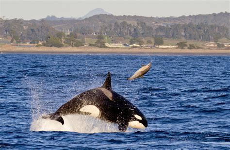 Killer Whales Pursuing A Dolphin Off Central California