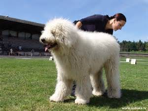 List Of Dogs That Shed Very Little by Large White Hairy Dog Breeds Dog Breeds Picture